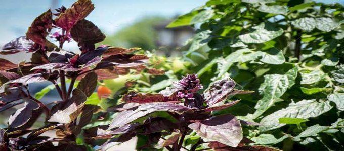Planta albahaca morada