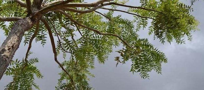 Planta boswellia serrata