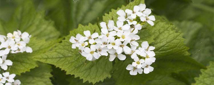 Planta ortiga blanca