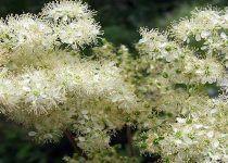 Planta Ulmaria