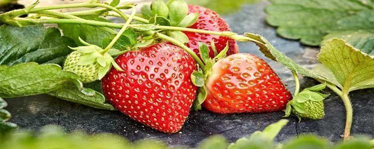 Propiedades de la fresa para las salud