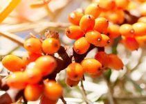 Aceite de espino amarillo