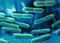 Lactobacillus rhamnosus probiótico