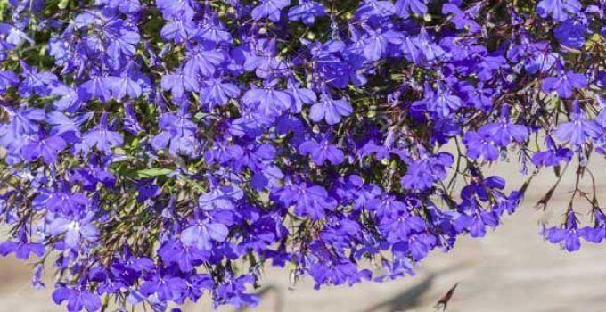 Planta lobelia
