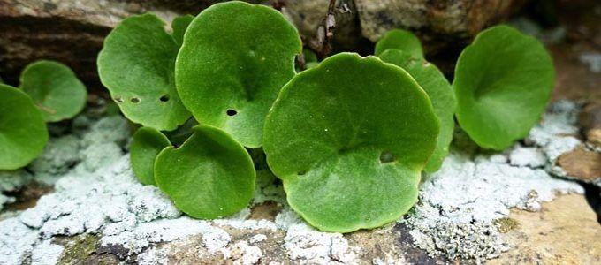 Planta ornamental ombligo de Venus